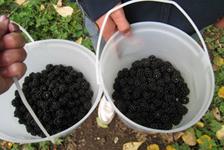 blackberries_all1