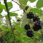 blackberries_picking1