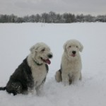 Dogs (Harvey &amp; Oscar) on the Racecourse in Salford, Manchester