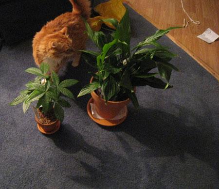 Henry, my cat, inspecting new houseplants
