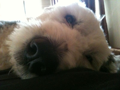 Oscar, the dog, lying down close-up