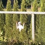 Bulldog at the Fence