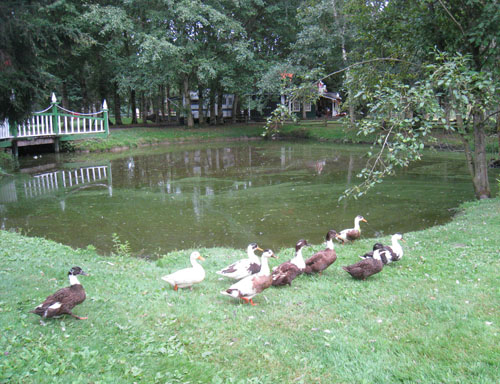 Resident Ducks at Richmond Country Farms