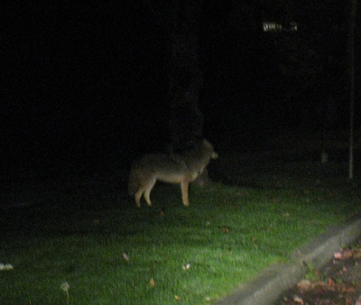 Urban coyote in Vancouver