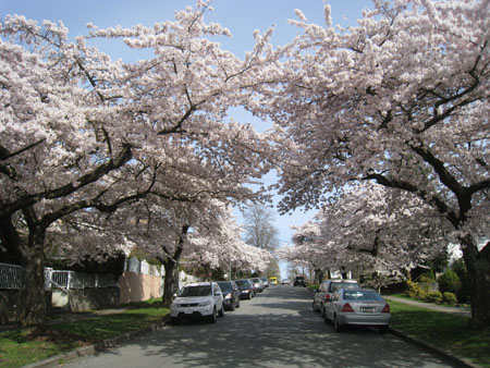 Cherry blossoms on West 64th Avenue near Historic Joy Kogawa House