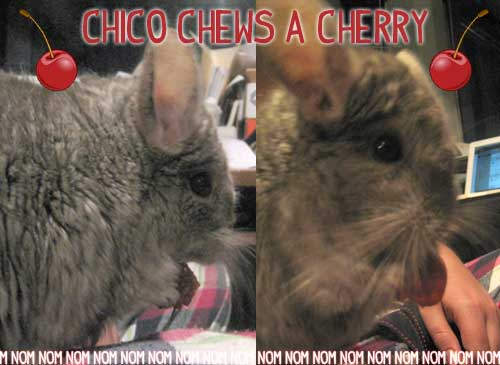 Chico snacking on a fresh cherry