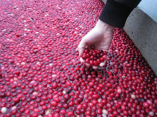 Cranberries floating in pond